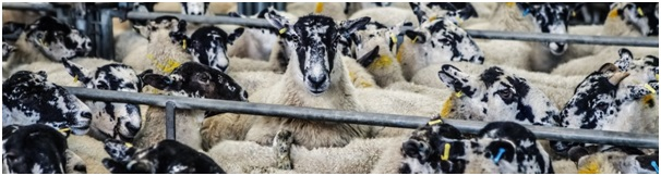 Sheep standing in pens, illustrating the importance of conforming to standard formatting rules when drafting a consulting cover letter