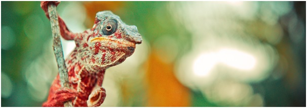 brightly coloured chameleon on a branch